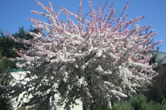 111208 Flowering Tree