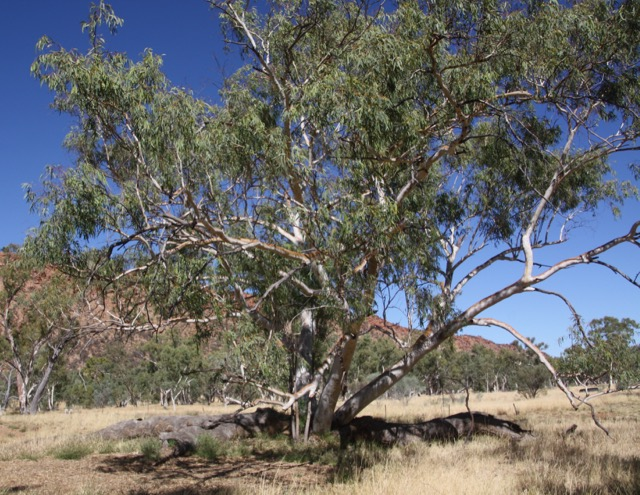 150501 the sleeping giant tree